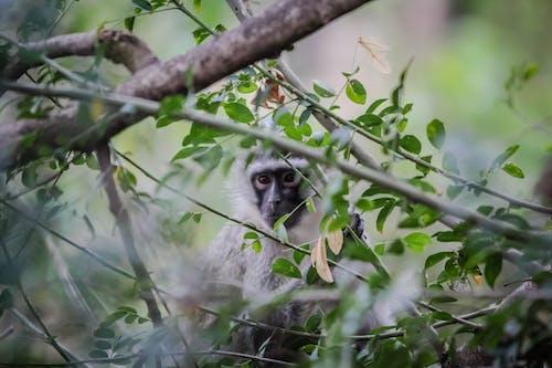 Foto stok gratis Afrika, afrika selatan, bayi monyet, fotografi binatang liar