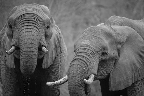Foto stok gratis Afrika, binatang, gajah, hitam & putih