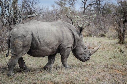 南非, 犀牛, 野生動物, 野生動物攝影 的 免費圖庫相片