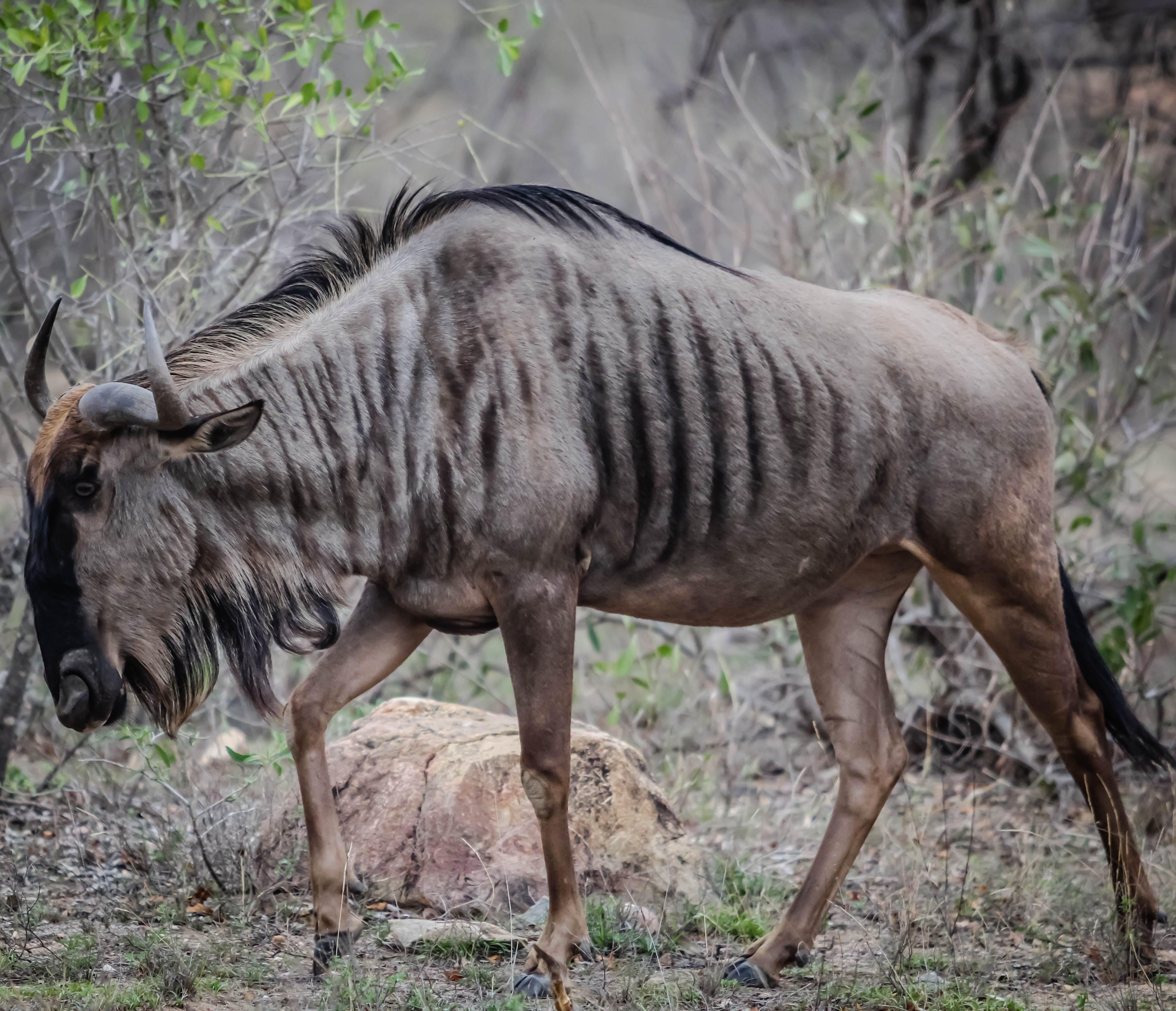 Free stock photo of africa, safari, south africa, wildlife