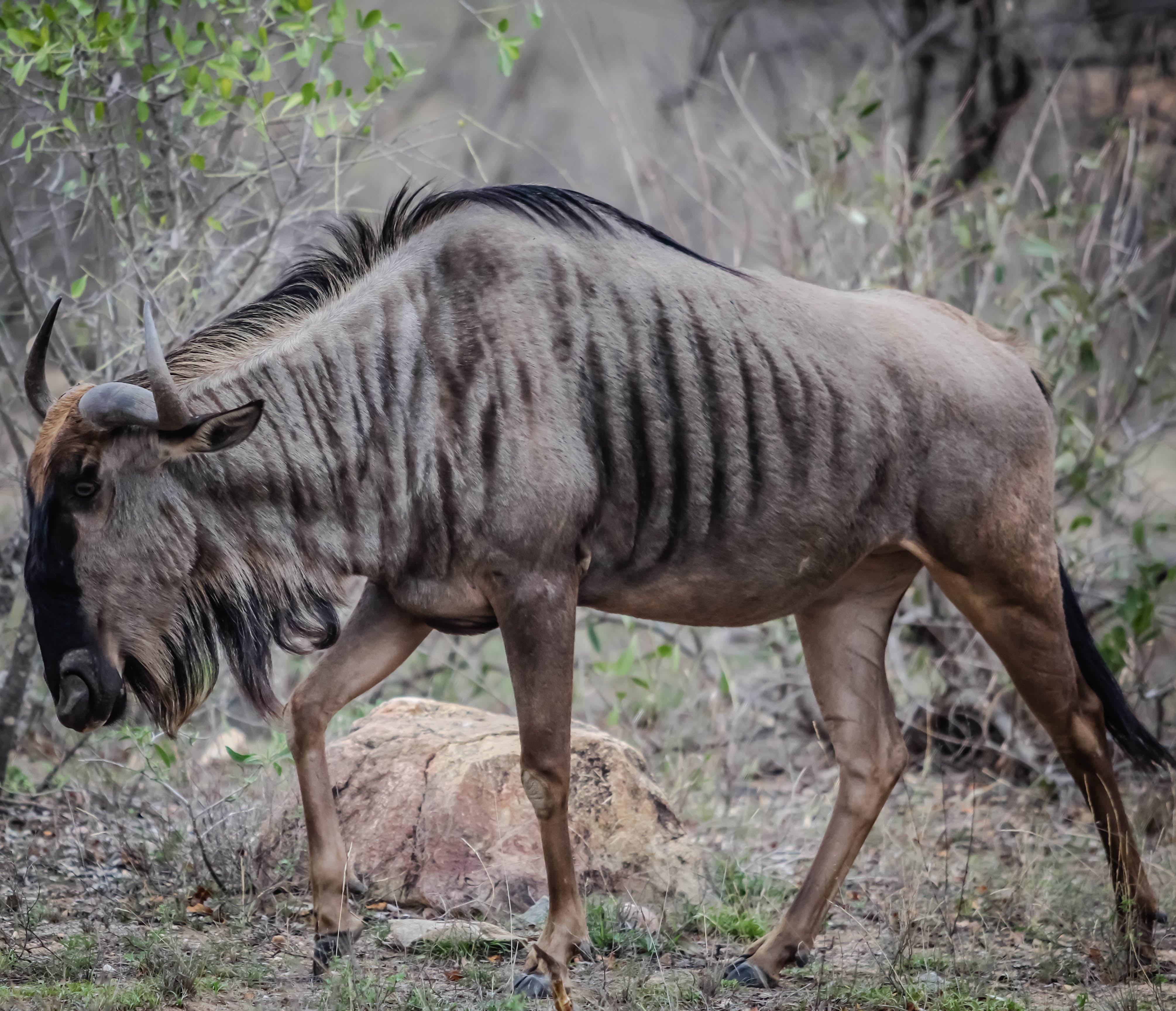 Kostenloses Stock Foto zu afrika, safari, tierwelt, südafrika