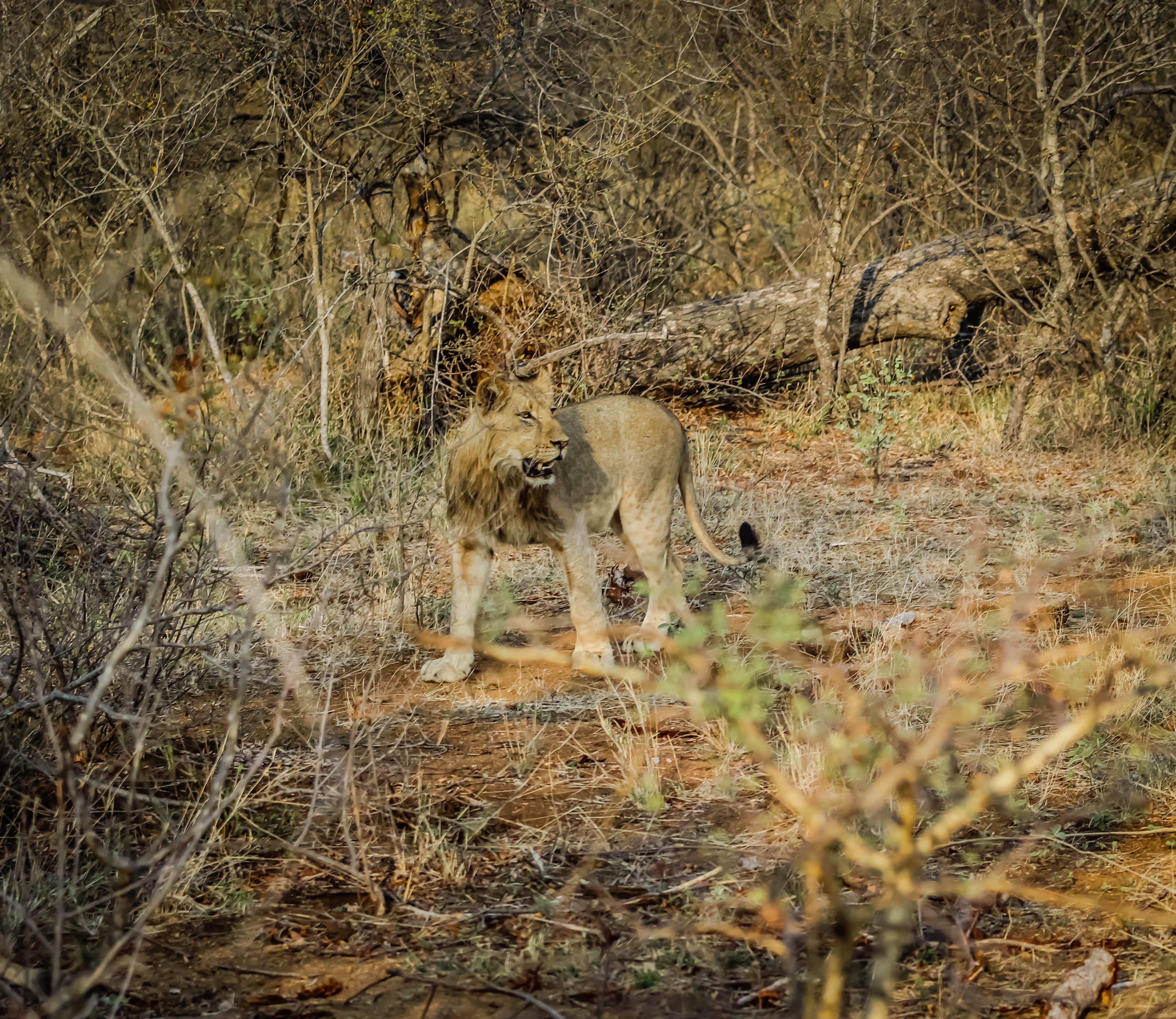 Free stock photo of lion cub, safari, south africa