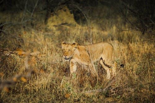 Free stock photo of africa, lion cub, safari