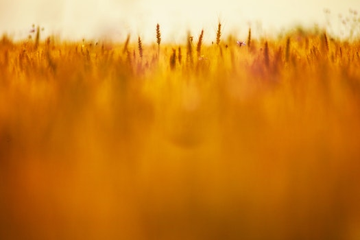 Free stock photo of field, yellow, blur, grain