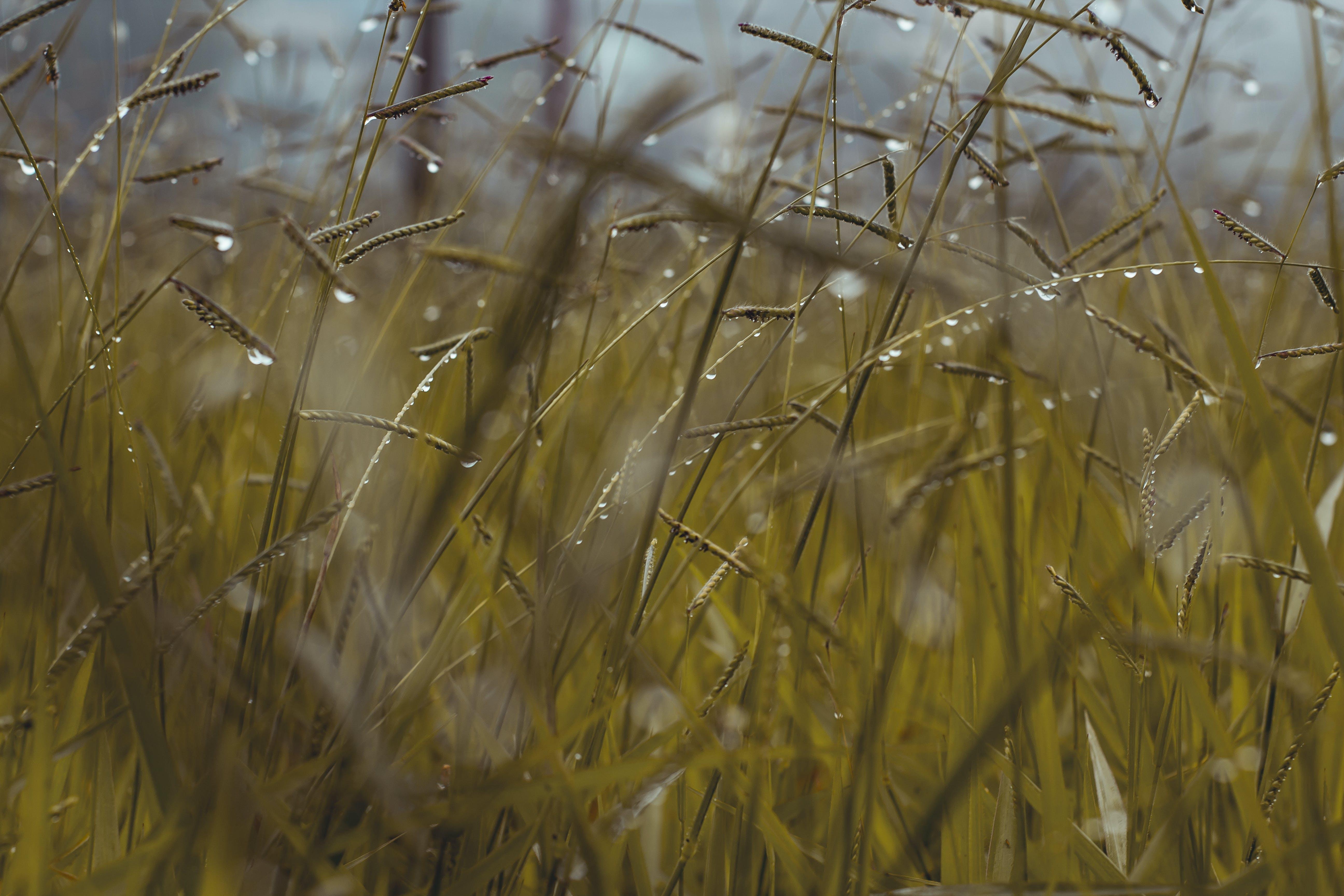 Photos gratuites de blé, champ de blé, clairière, croissance