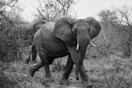 Free stock photo of africa, black and white, elephant, safari