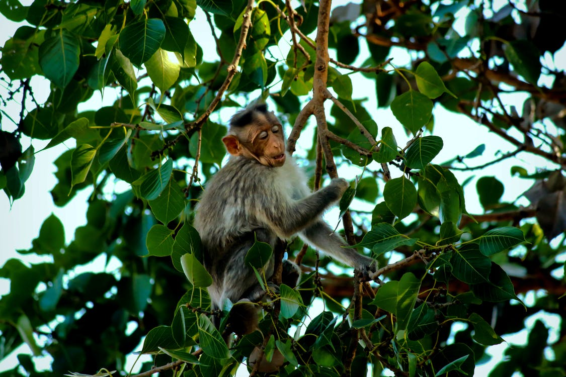 Gray Monkey on Tree Branch