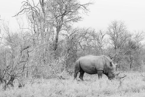 Free stock photo of africa, black and white, rhino, rhinoceros