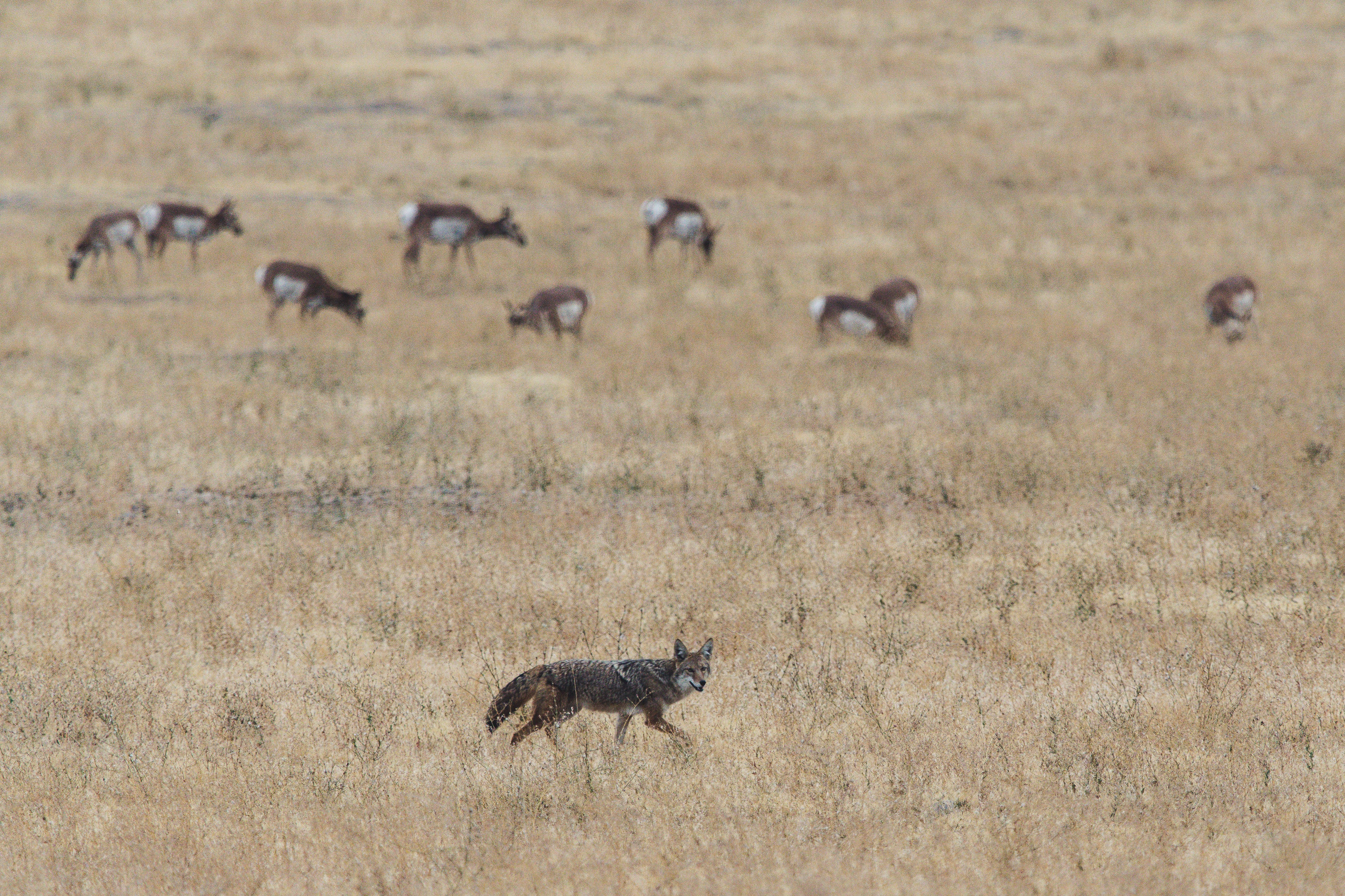 Grey and Brown Fox on Open Field Near Herd of Deer