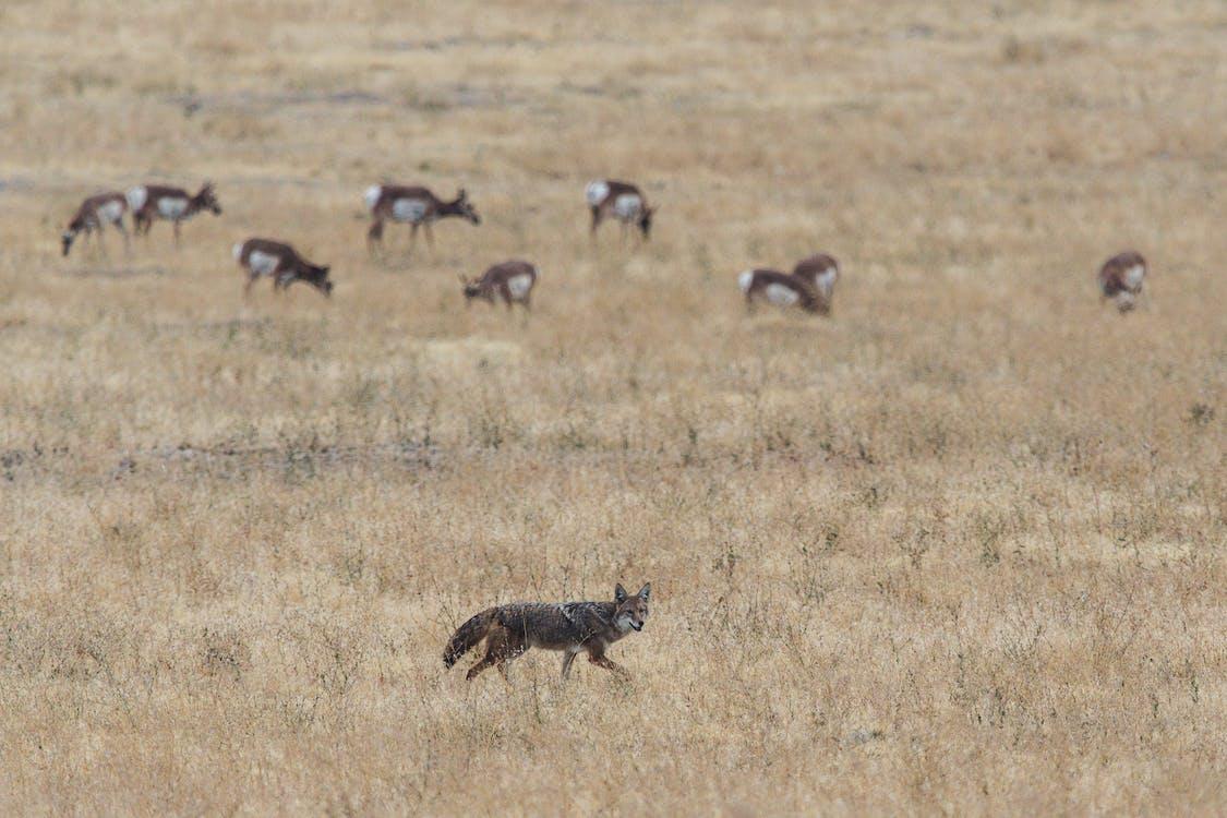 animal sauvage, animaux, antilope