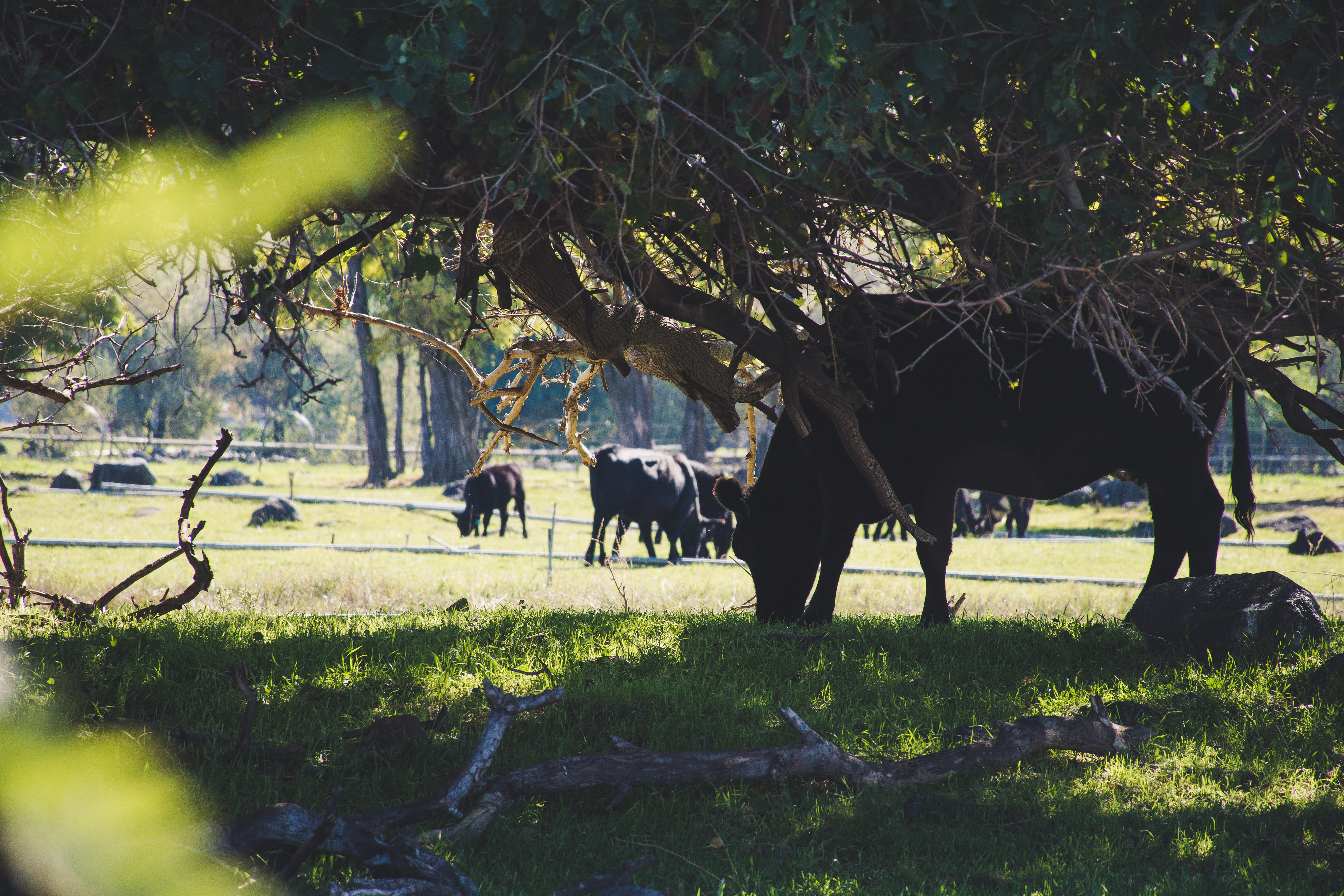 Cow Eating Grass Under Tree
