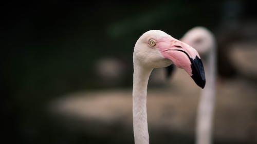 Gratis stockfoto met flamingo