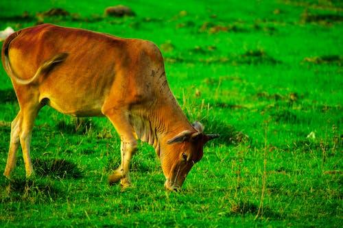 Ảnh lưu trữ miễn phí về bò, chăn thả