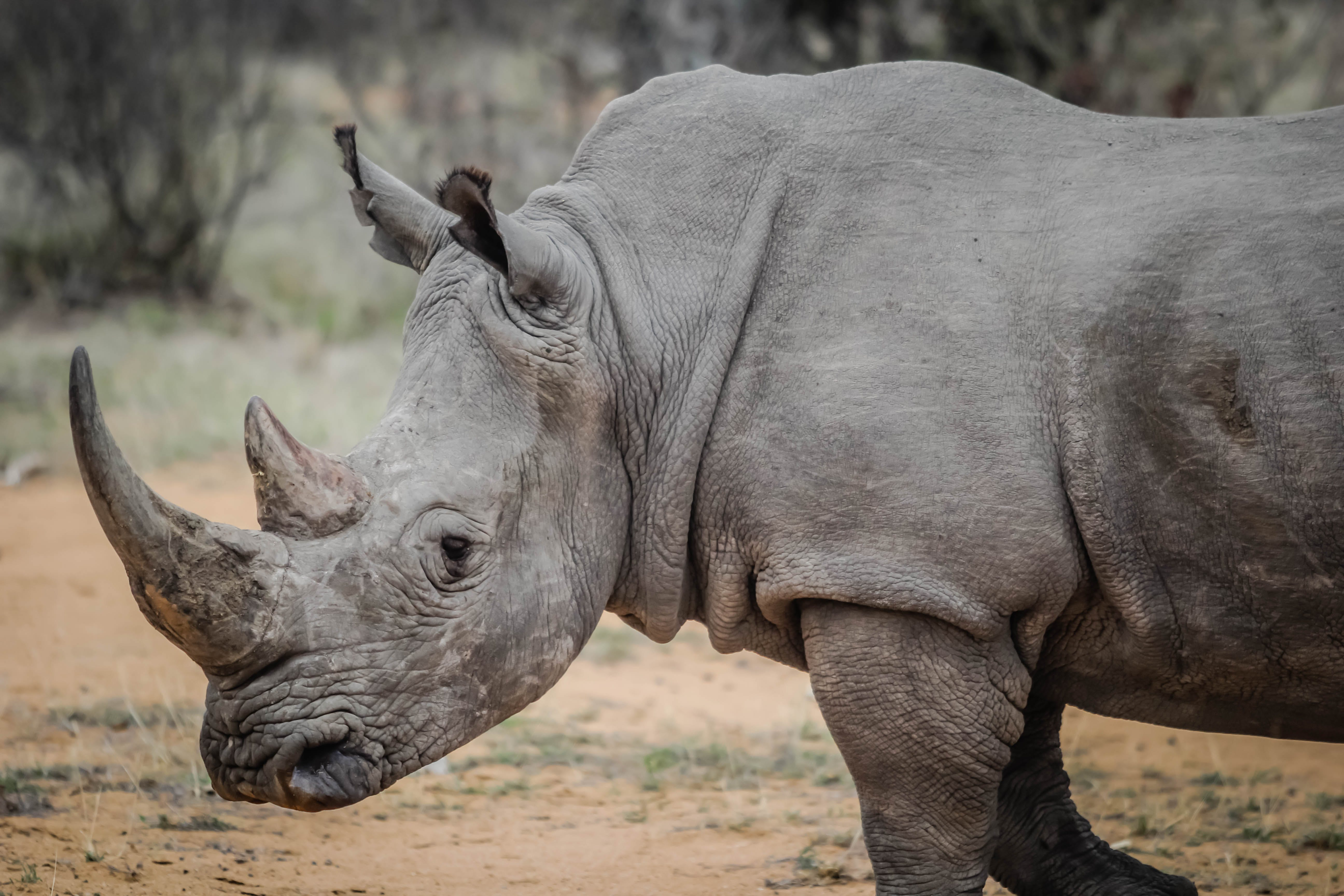 Gray Rhinoceros in Close-up Photography
