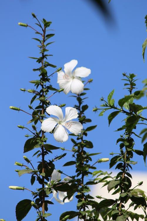 Photos gratuites de Hibiscus