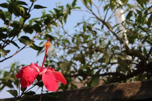 Photos gratuites de hibiscus rouge
