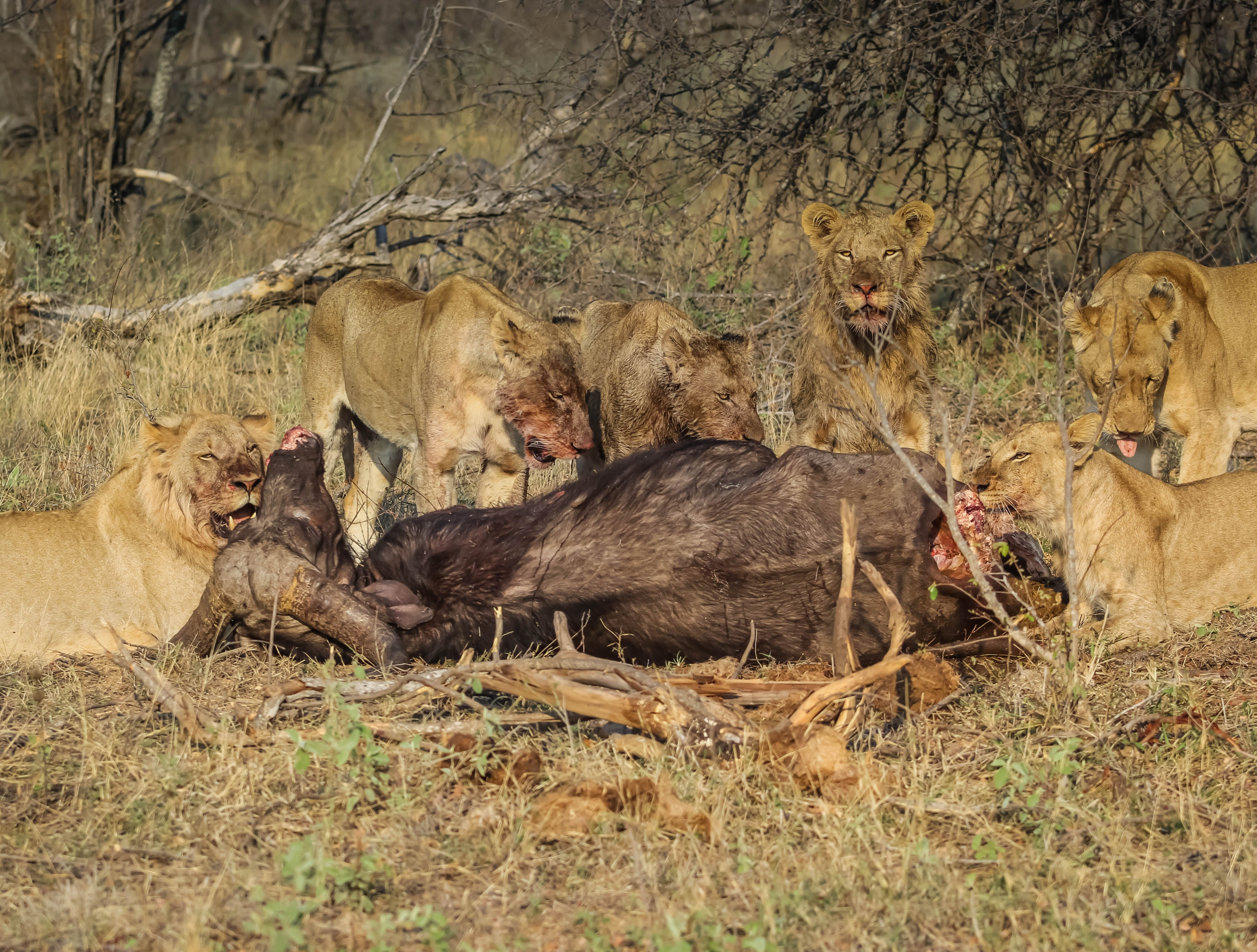 Free stock photo of lion, wildlife, big cat, wildlife photography
