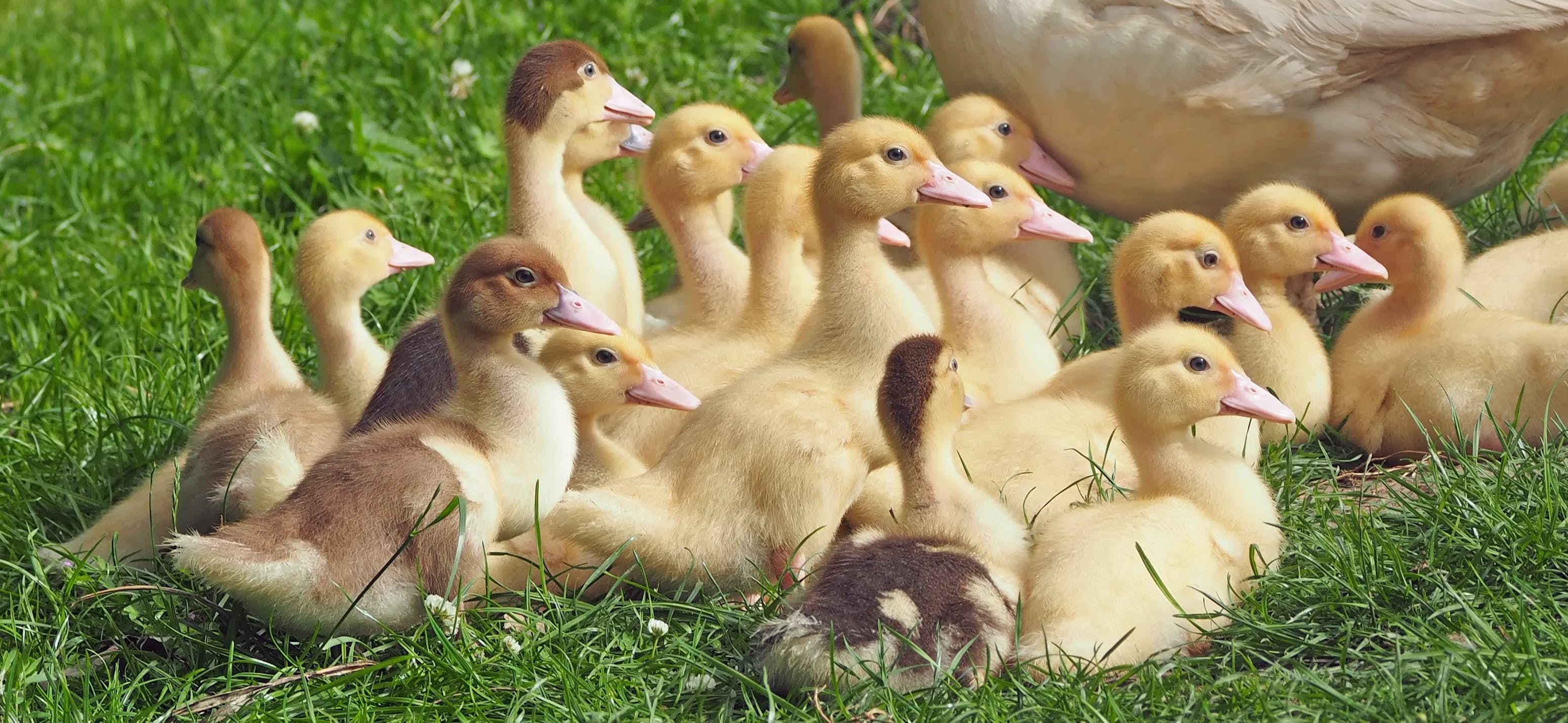 Photography of Ducklings at Green Grass Field during Daytime