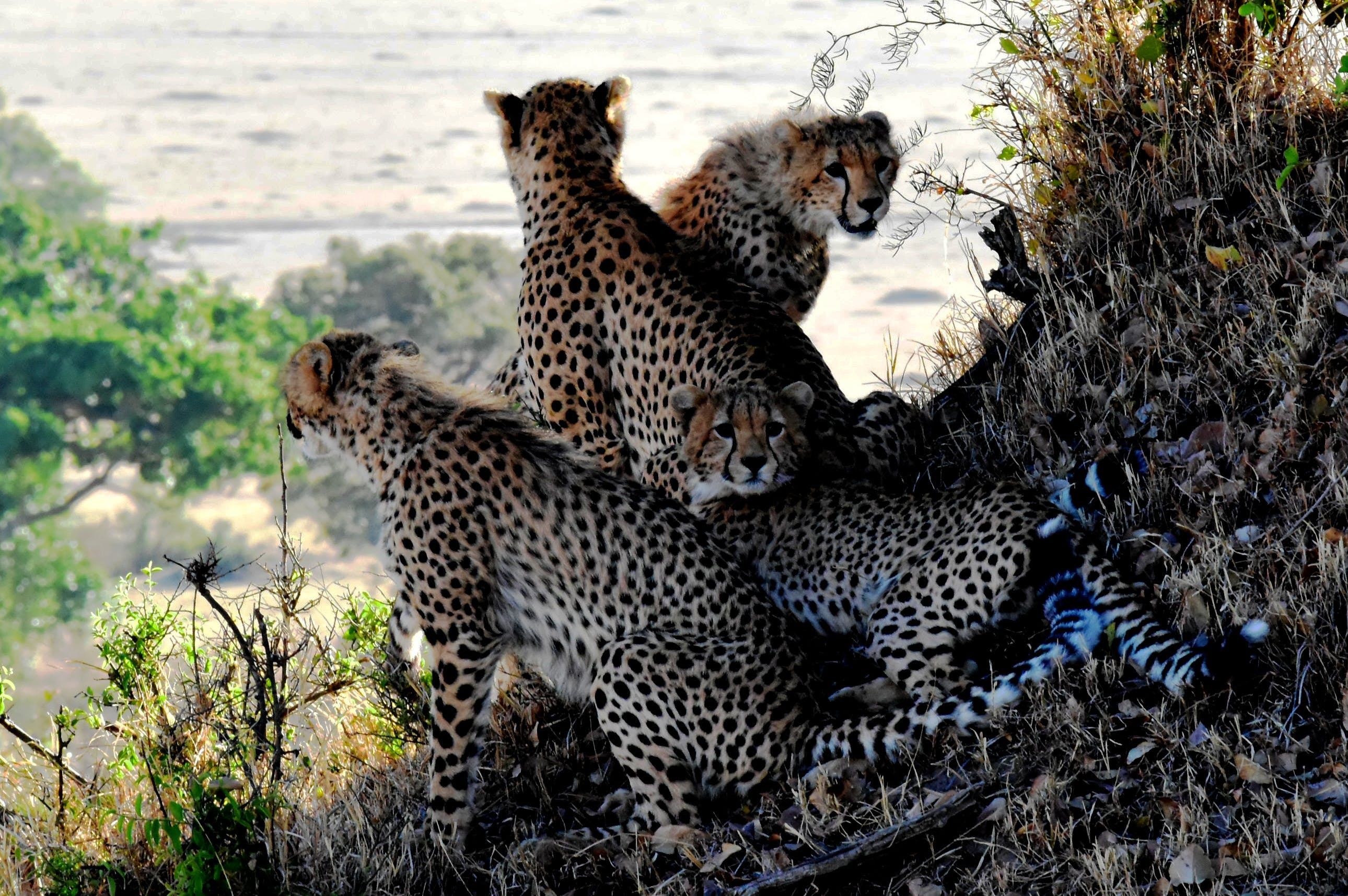 4 Cheetahs Sitting and Lying during Daytine