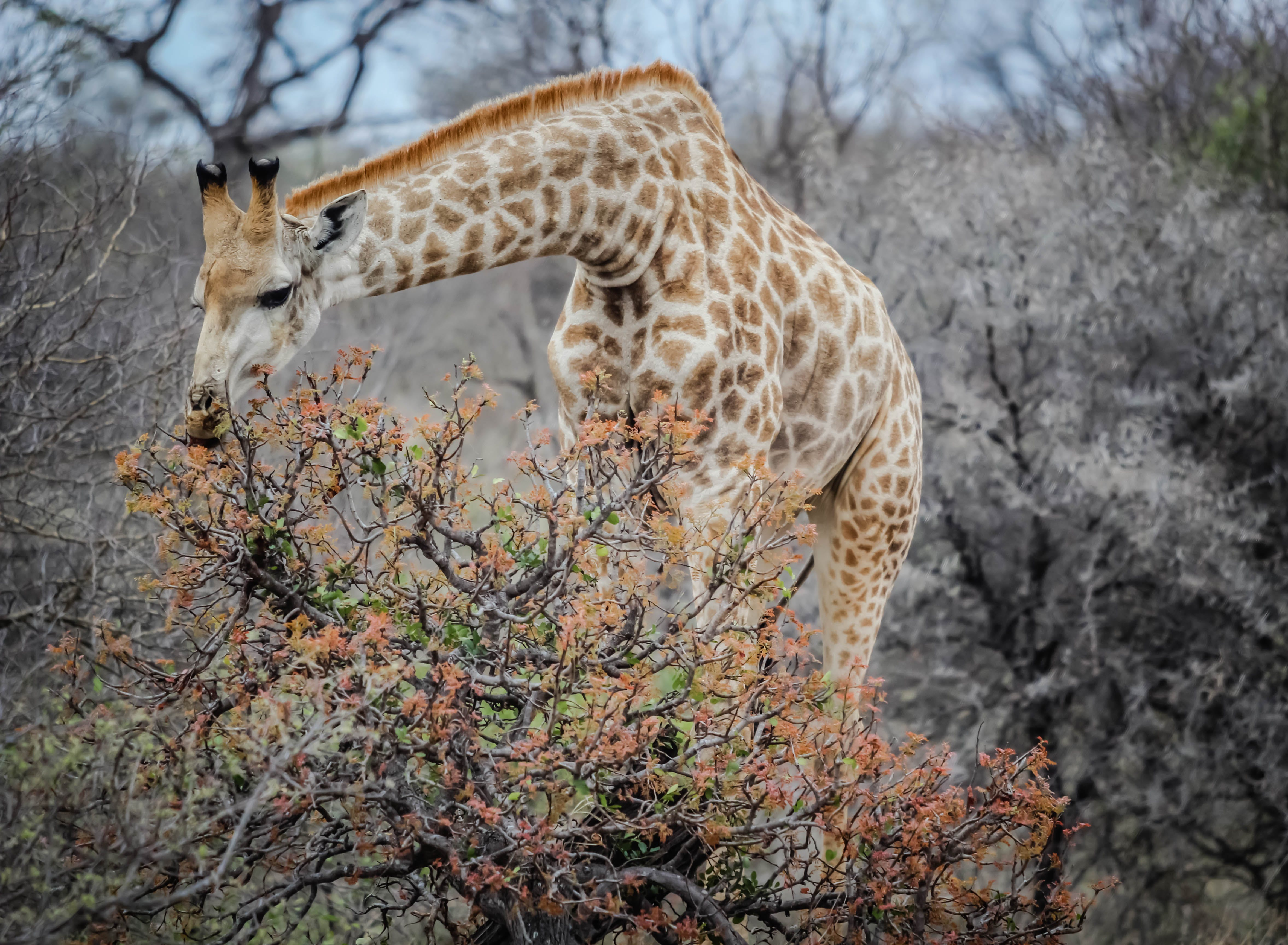 Close-up Photography of Giraffe Grazing