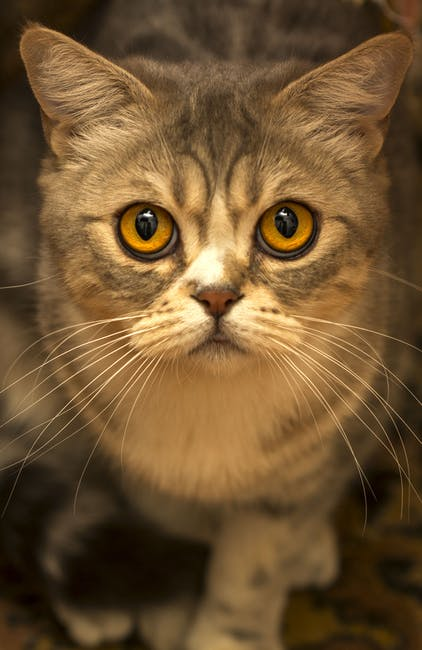 Cute Brown Tabby Cat Close Up Photo