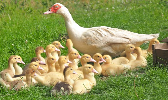 White Duck With 22 Ducklings in Green Grass Field
