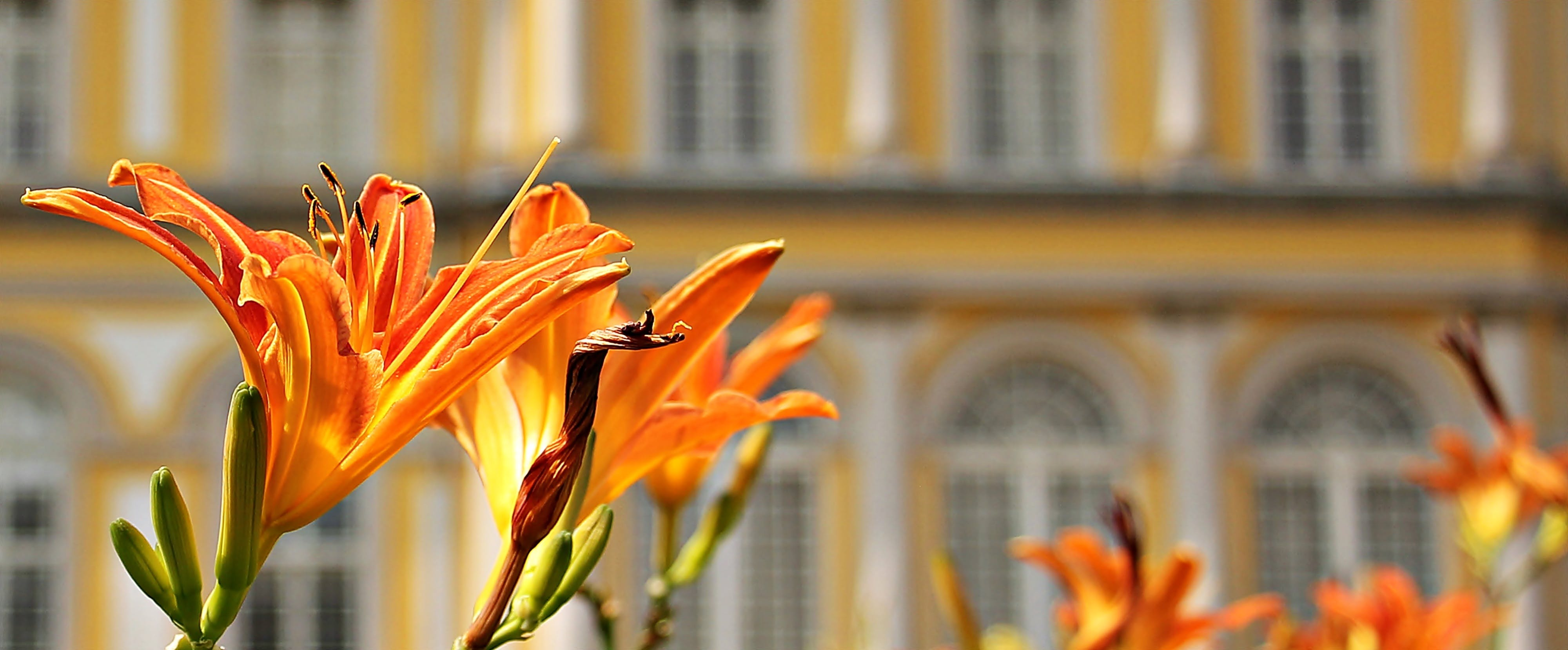 Orange Flowers Beside Buildings during Daytime