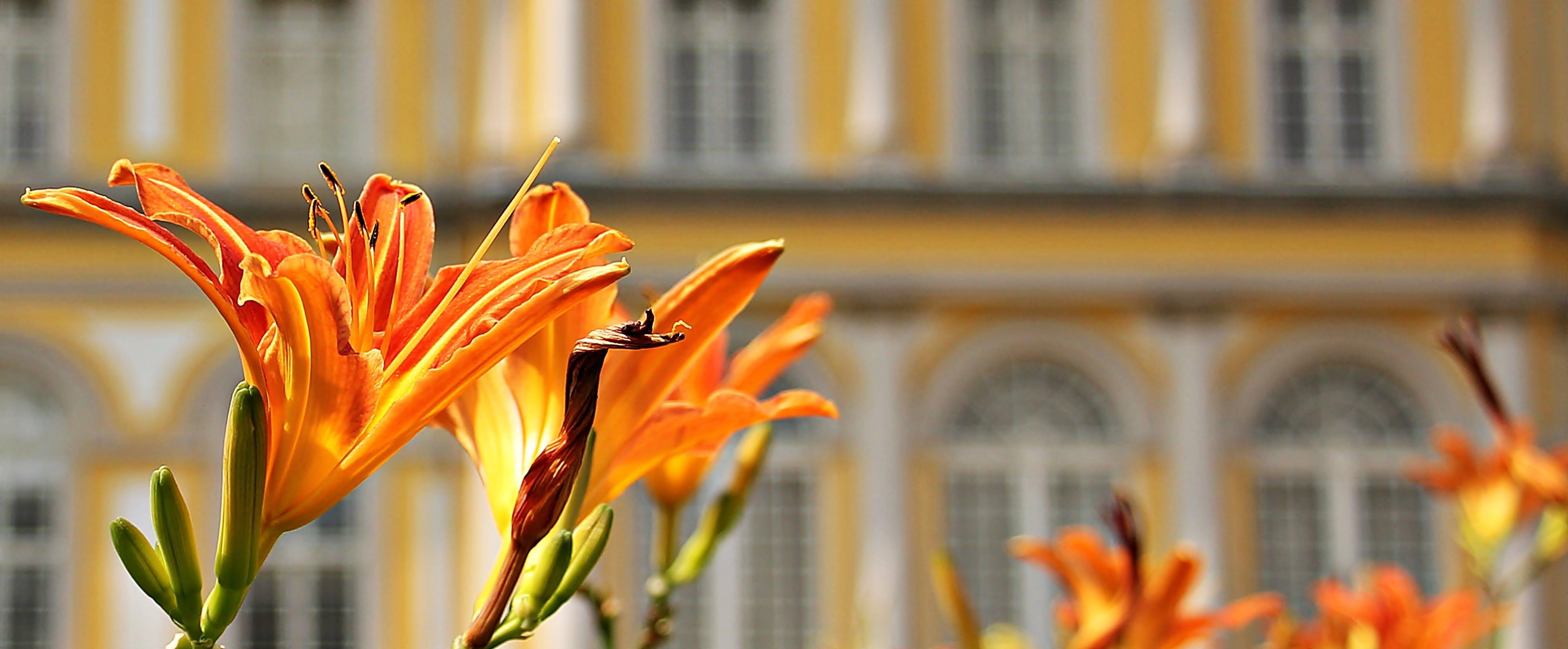 Orange Flowers Beside Buildings during Daytime