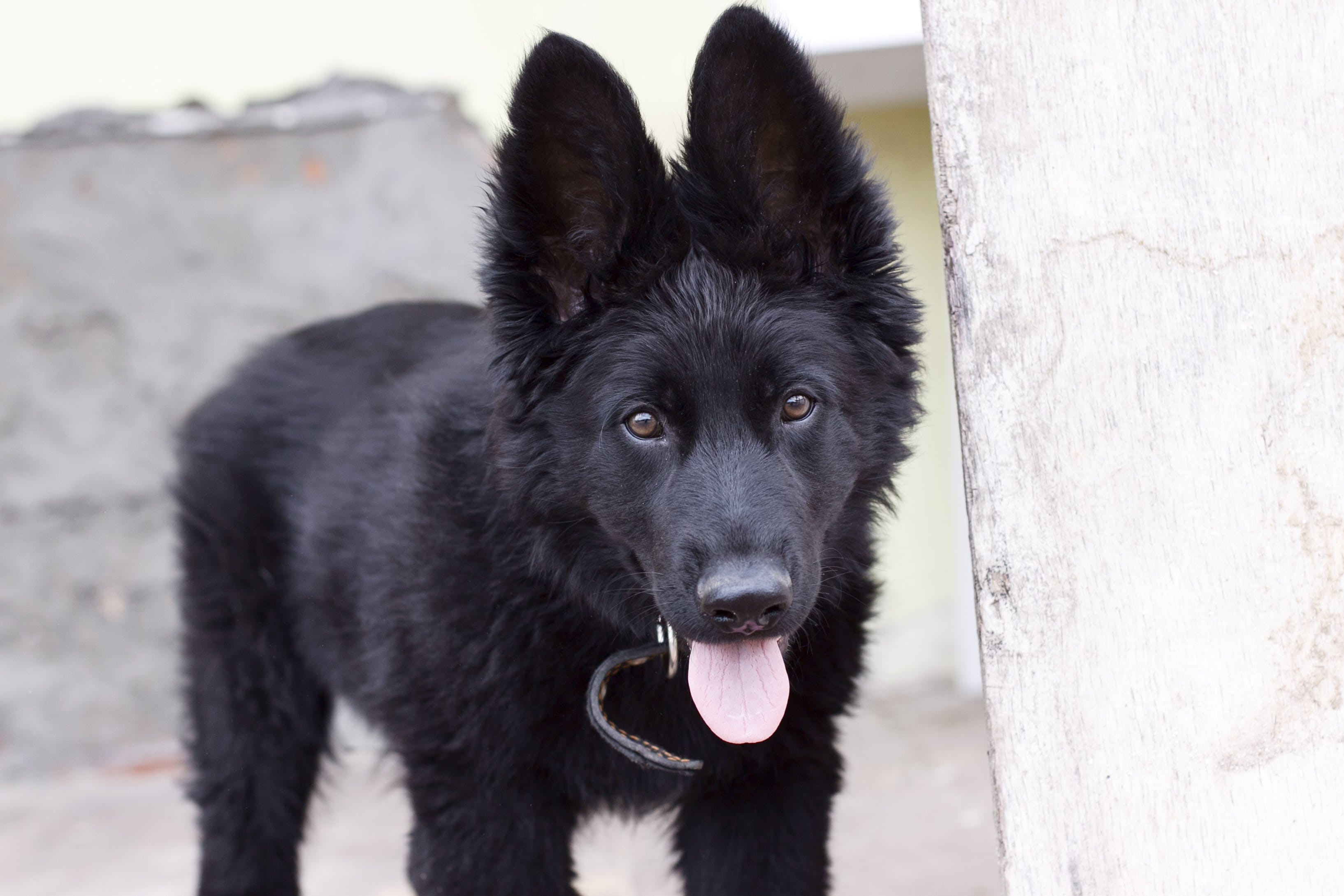 Black Belgian Shepherd Puppy