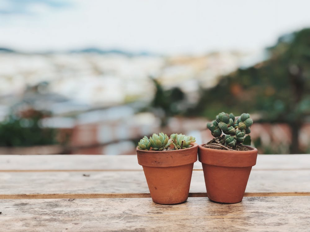 Two Potted Succulent Plants