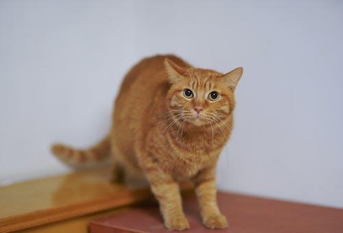ahşap yüzey, bakmak, bulanıklık, ev kedisi içeren Ücretsiz stok fotoğraf