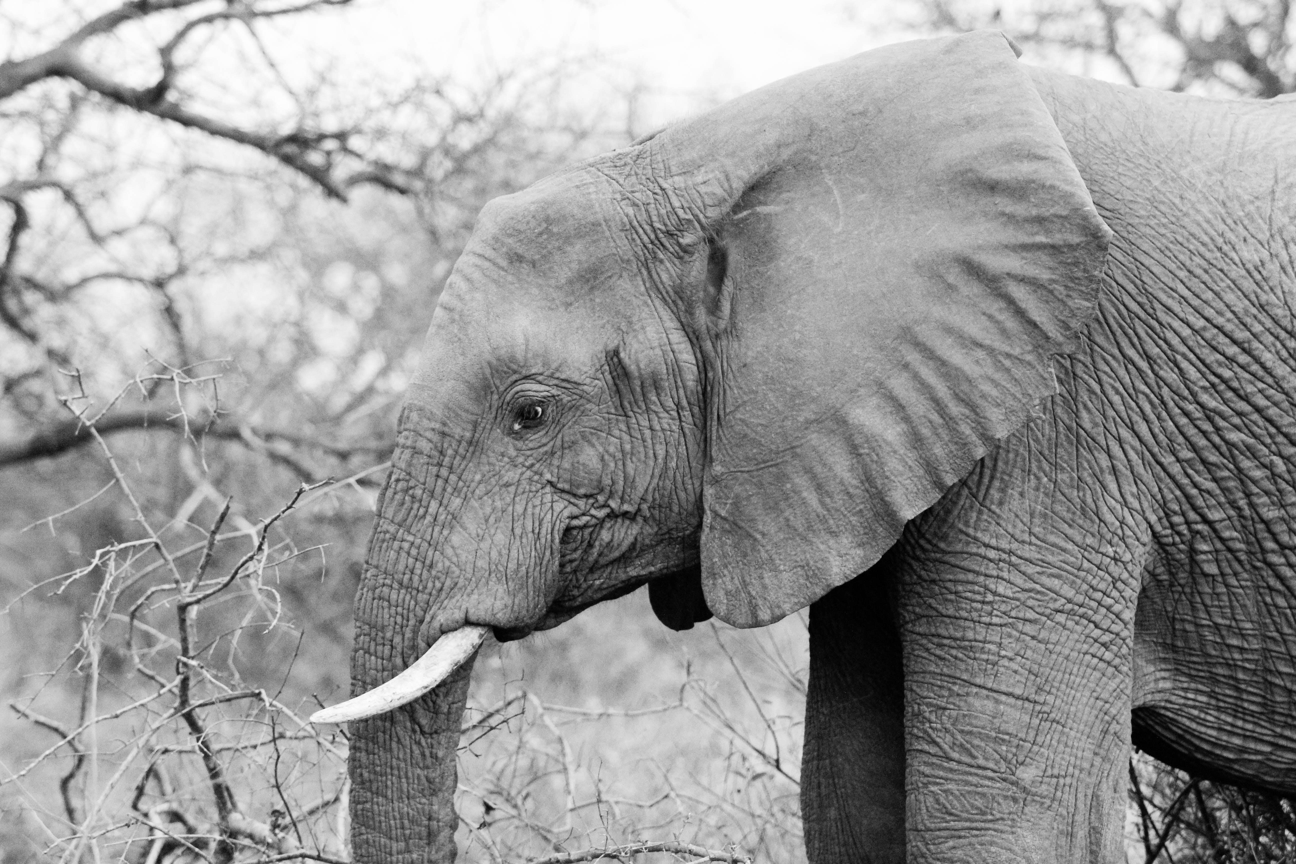 Kostenloses Stock Foto zu afrika, tierwelt, schwarz und weiß, elefant