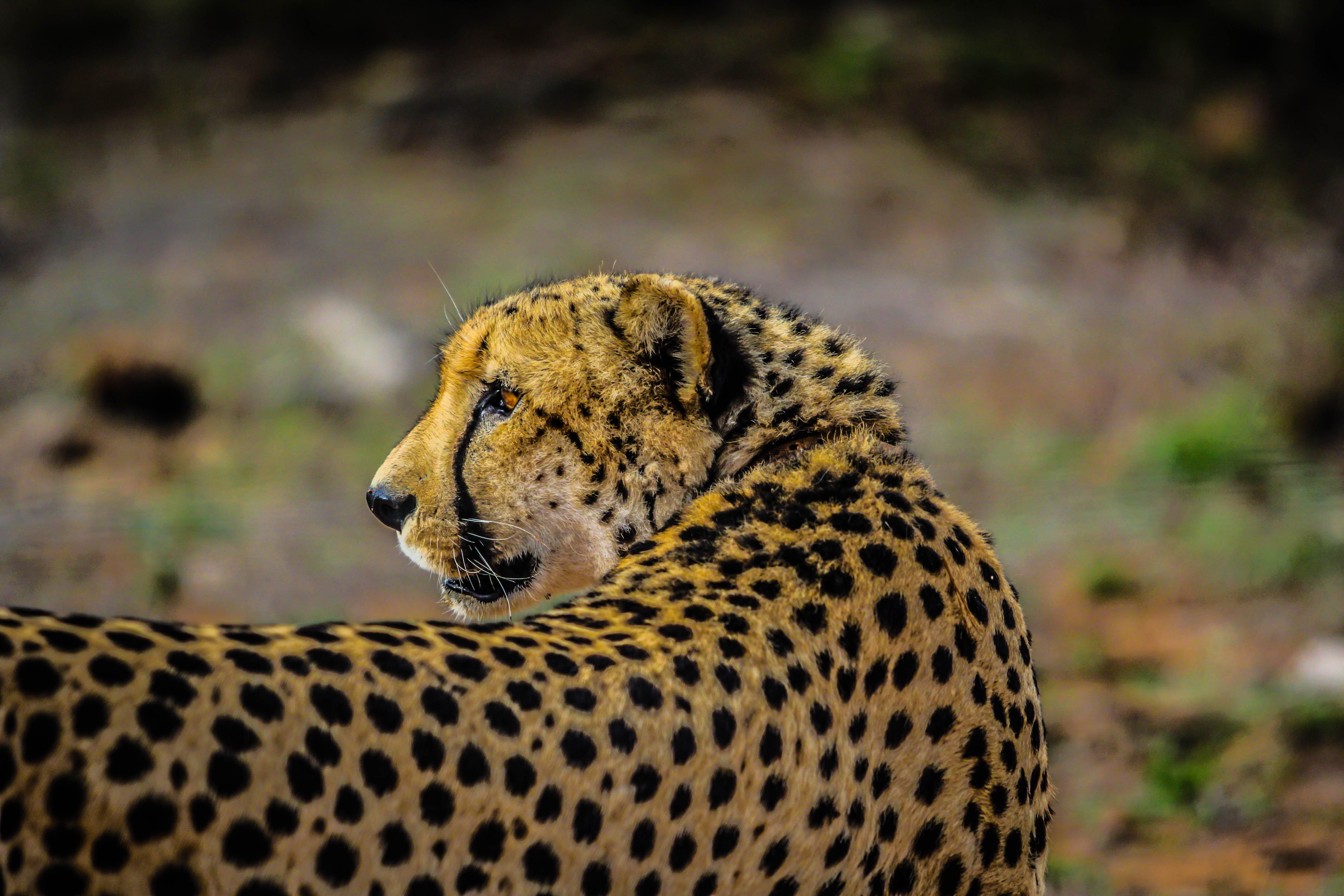 Shallow Focus Photography of Cheetah