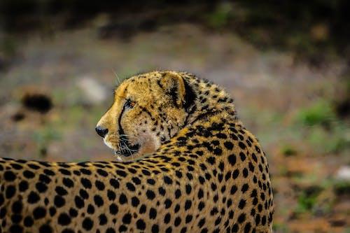 Бесплатное стоковое фото с Африка, гепард, дикое животное, кошачьи