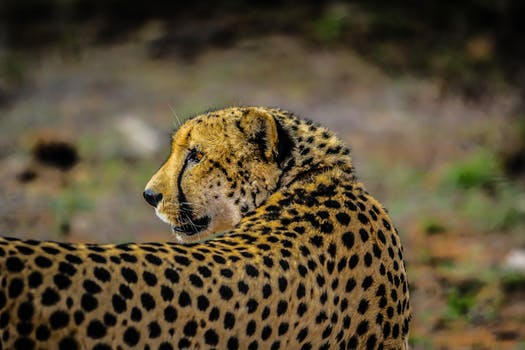 Free stock photo of africa, cat, safari, feline