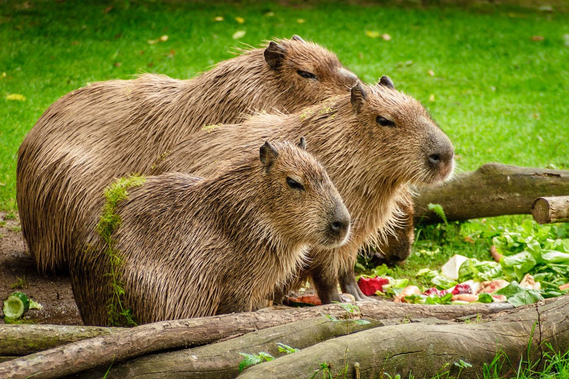 Photo of 3 Capybara Standing Near Wooden Branch and Grass