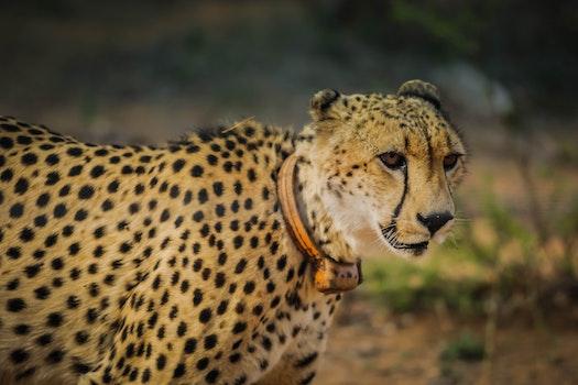 Kostenloses Stock Foto zu tier, afrika, wildnis, tiger