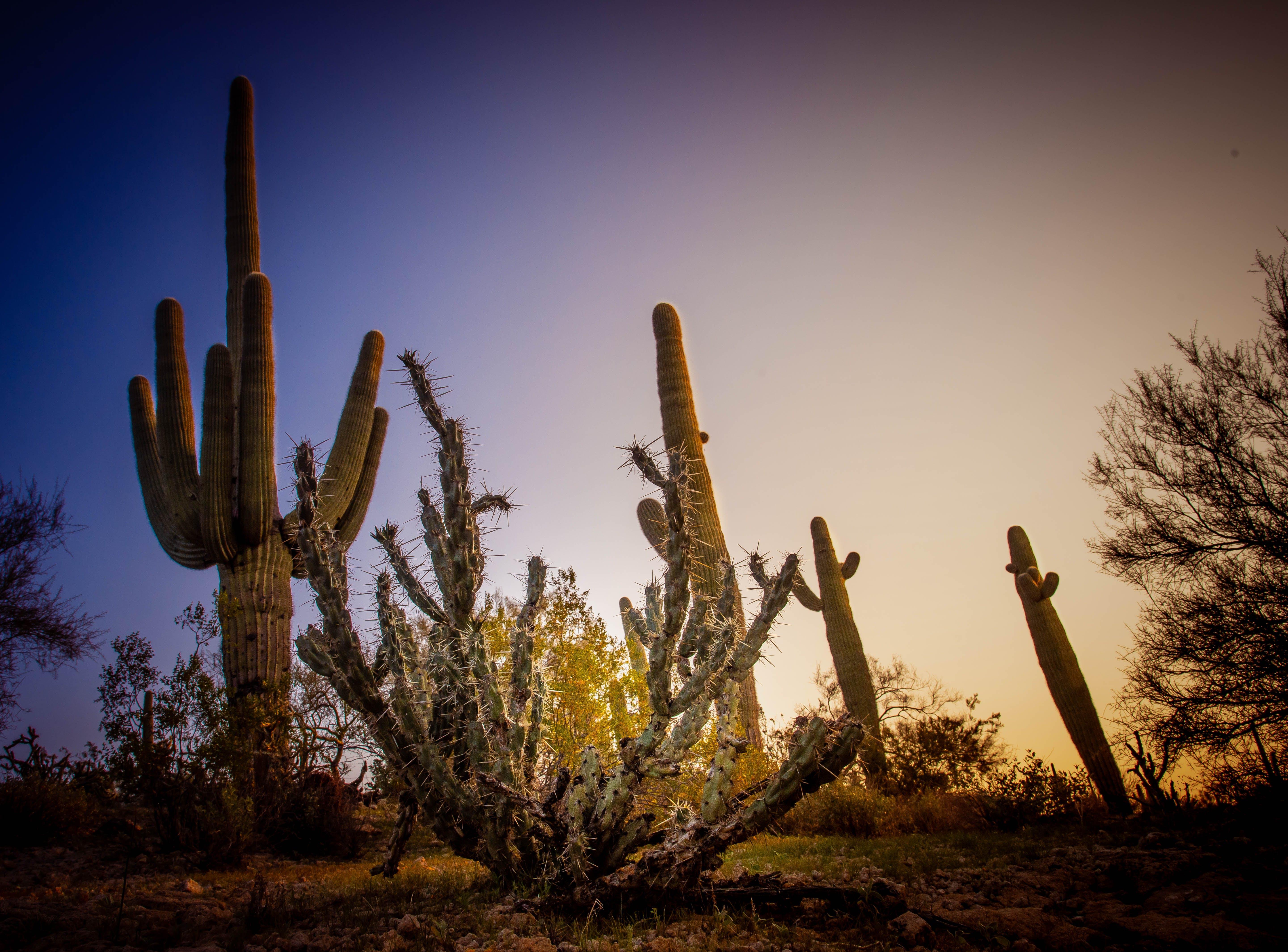 Free stock photo of cactus, desert, morning, nature