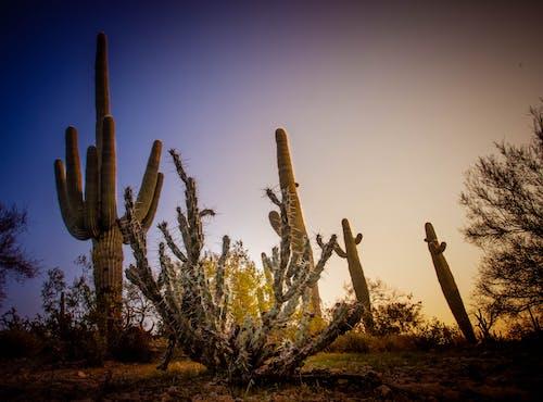 Ilmainen kuvapankkikuva tunnisteilla aavikko, kaktus, luonto