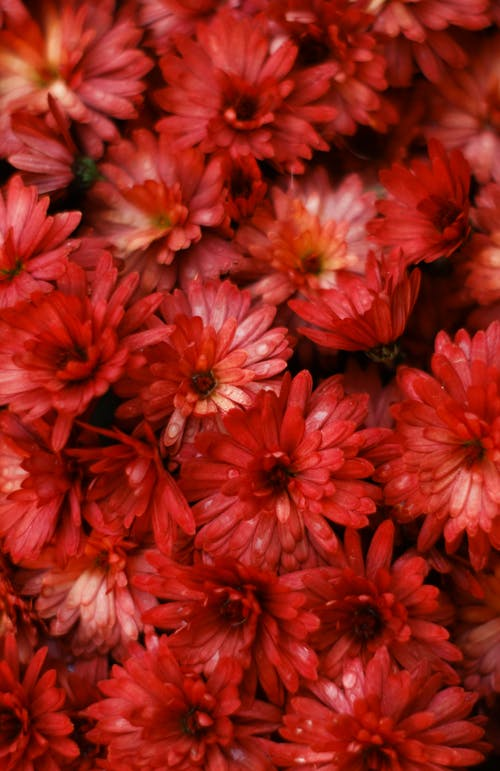 Free stock photo of chrysanthemum, fall colors, flowers, red