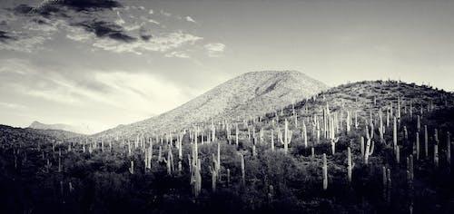 Free stock photo of arizona, black and white, cactus