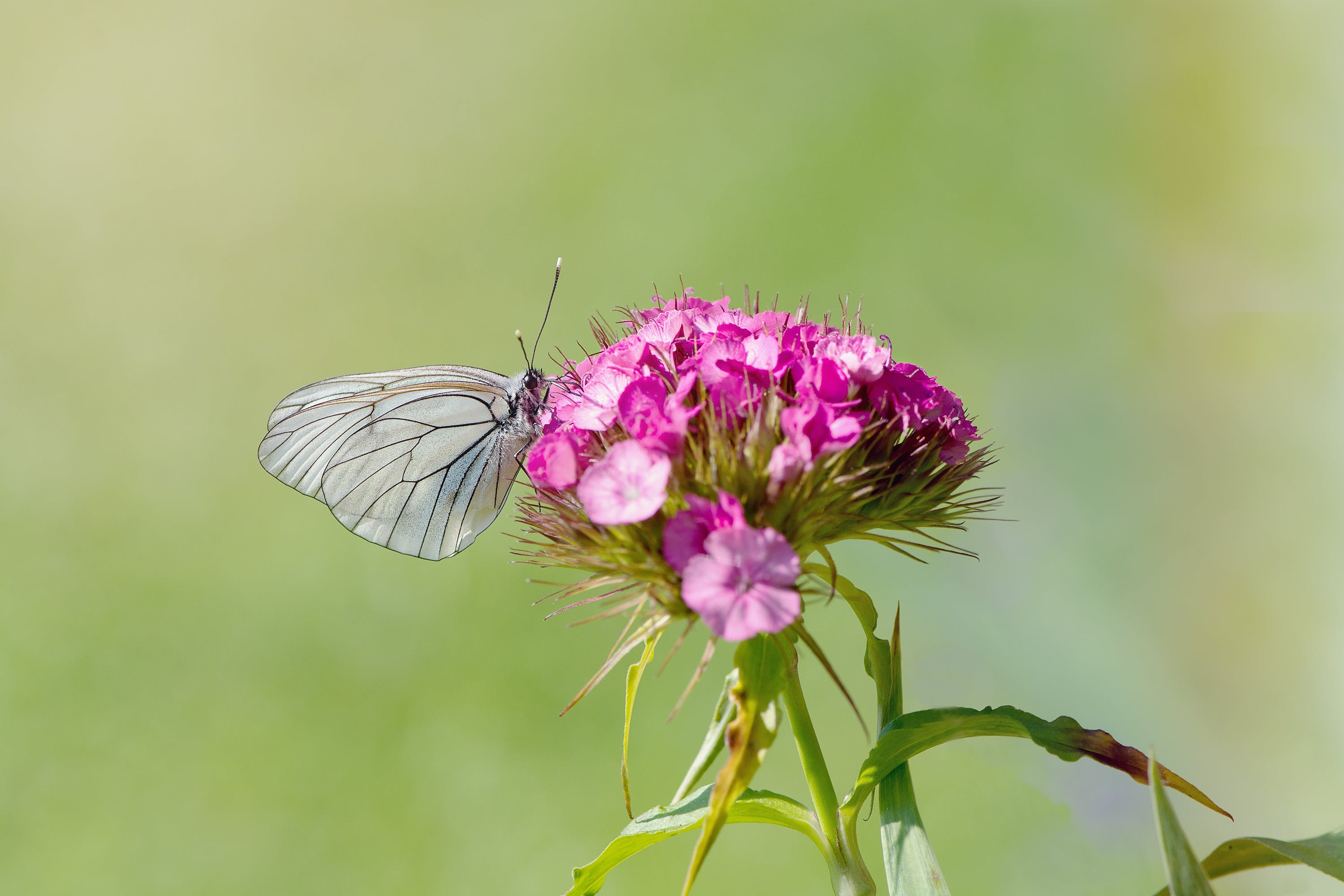 Grey Butterfly Perching on Purple Petal Flower