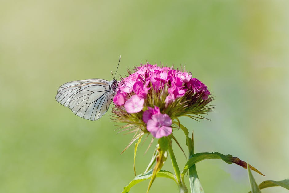 Grey Butterfly Perching On Purple Petal Flower 183 Free