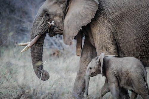 Afrika, fil dişleri, fil hortumu, fil yavru içeren Ücretsiz stok fotoğraf