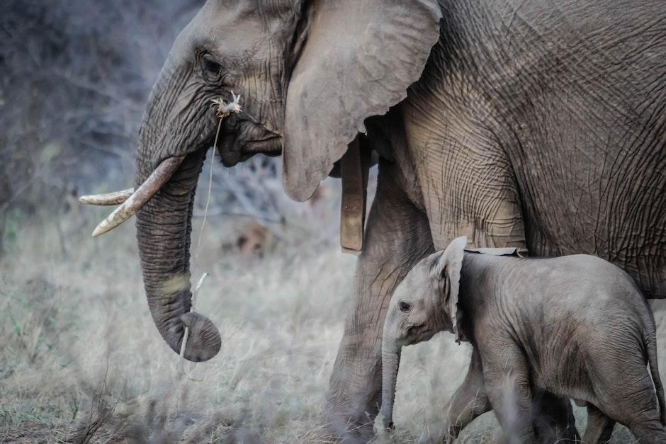 africa, elephant calf, elephant trunk