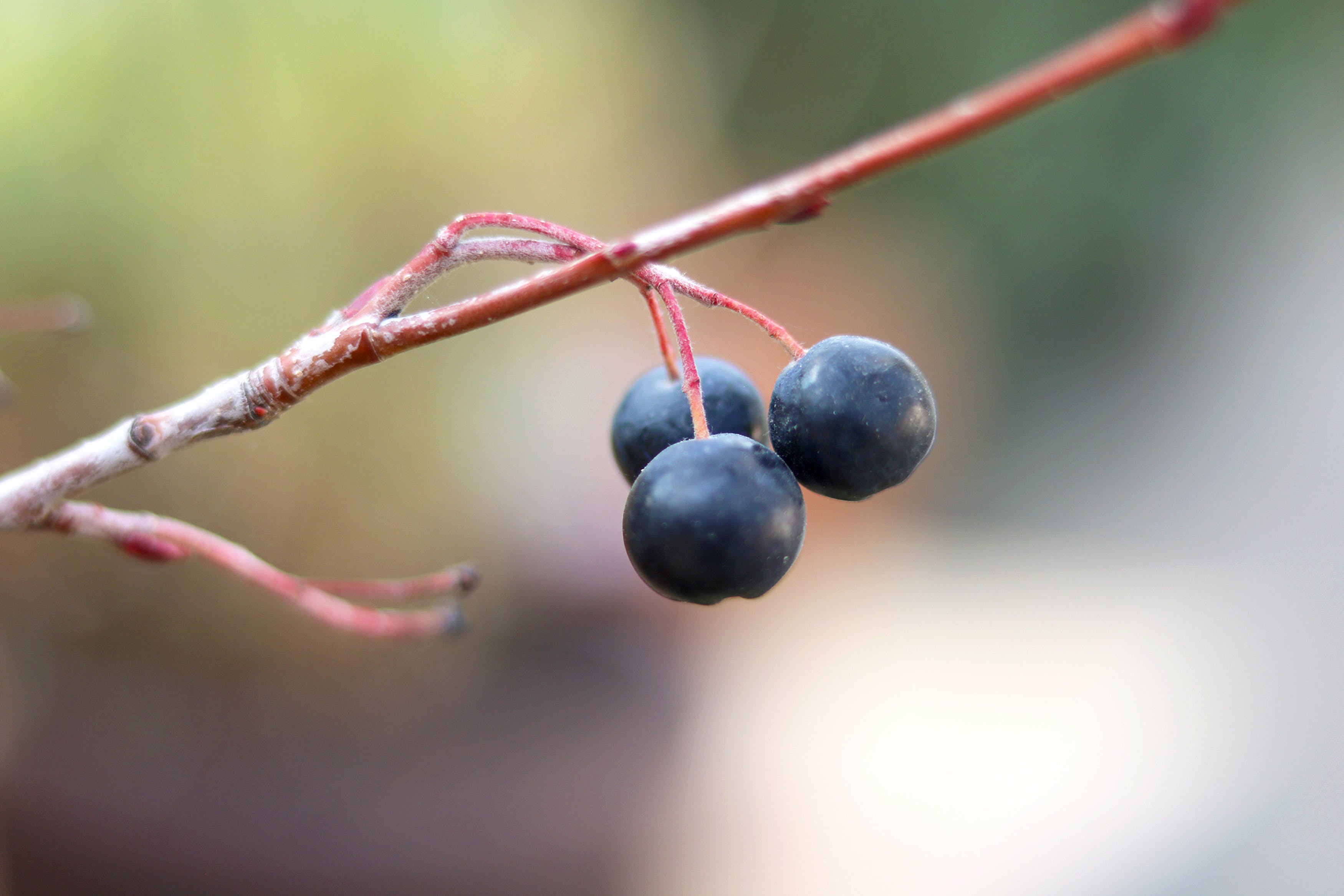 Free stock photo of berries, close up, macro photography