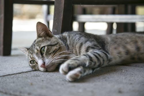 Tabby Cat Lying on Ground