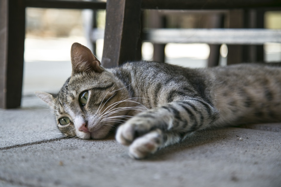 Tabby Cat Lying on Ground