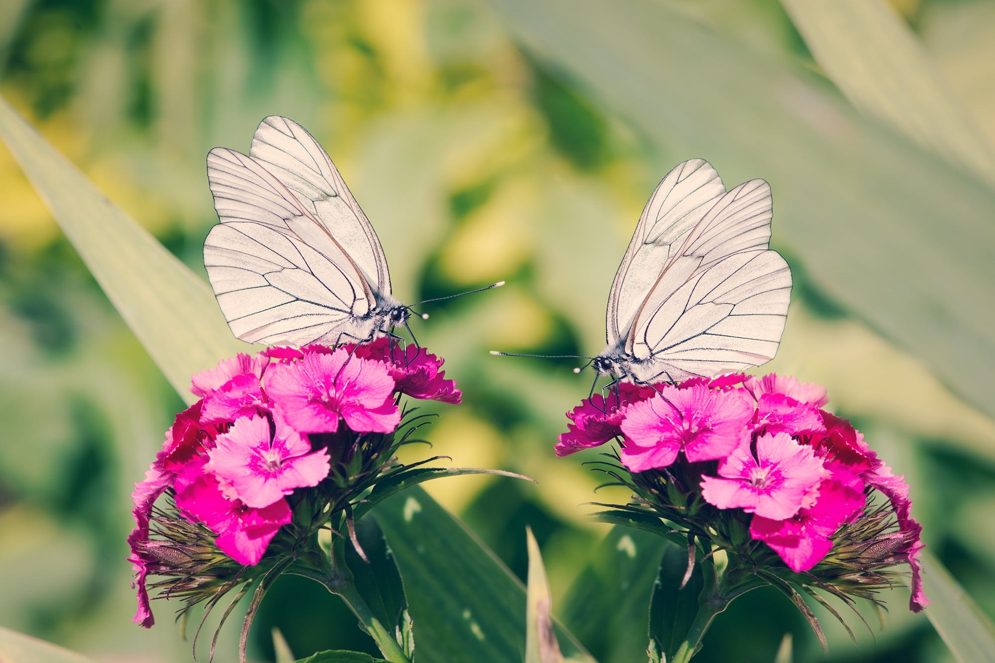 2 White Butterflies on Pink Flowers