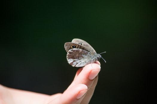 Owl Butterfly on Human Finger